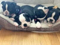 Boston Terrier Puppies for sale in 2643 N Mango Ave, Chicago, IL 60639, USA. price: NA