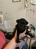 Boston Terrier Puppies for sale in Leipsic, OH 45856, USA. price: NA