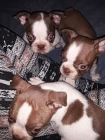 Boston Terrier Puppies for sale in Knob Noster, MO 65336, USA. price: NA