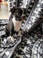 Boston Terrier Puppies for sale in Lewiston, ME, USA. price: NA