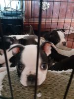 Boston Terrier Puppies for sale in Hanford, CA 93230, USA. price: NA