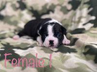 Boston Terrier Puppies for sale in Milton, FL, USA. price: NA