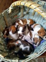Boston Terrier Puppies for sale in Garland, TX, USA. price: NA