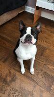 Boston Terrier Puppies for sale in Michigan - Martin, Detroit, MI 48210, USA. price: NA