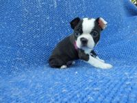 Boston Terrier Puppies for sale in Hacienda Heights, CA 91745, USA. price: NA