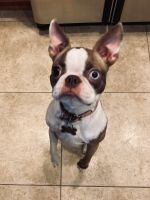 Boston Terrier Puppies for sale in West Chester Township, OH 45069, USA. price: NA