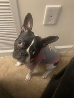 Boston Terrier Puppies for sale in Virginia Beach, VA, USA. price: NA