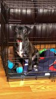 Boston Terrier Puppies for sale in The Bronx, NY, USA. price: NA