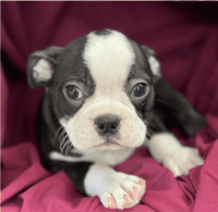 Boston Terrier Puppies for sale in Hicksville, NY, USA. price: NA
