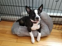 Boston Terrier Puppies for sale in Danbury, CT, USA. price: NA