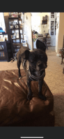 Boston Terrier Puppies for sale in Kingfisher, OK 73750, USA. price: NA