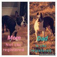 Boston Terrier Puppies for sale in Berrien Springs, MI 49103, USA. price: NA
