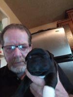 Boston Terrier Puppies for sale in Stockton, MO 65785, USA. price: NA