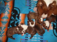 Boston Terrier Puppies for sale in Blanchard, MI 49310, USA. price: NA