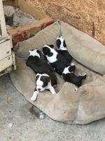 Boston Terrier Puppies for sale in North Wilkesboro, NC, USA. price: NA