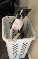 Boston Terrier Puppies for sale in Orange, CA, USA. price: NA