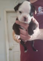 Boston Terrier Puppies for sale in Kannapolis, NC, USA. price: NA