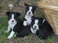 Boston Terrier Puppies for sale in Huntington Beach, CA, USA. price: NA