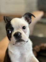 Boston Terrier Puppies for sale in Springfield, MA, USA. price: NA