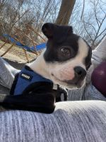Boston Terrier Puppies for sale in Waterbury, CT, USA. price: NA