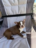 Boston Terrier Puppies for sale in St. George, UT, USA. price: NA
