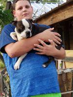 Boston Terrier Puppies for sale in Pleasanton, TX 78064, USA. price: NA