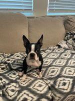 Boston Terrier Puppies for sale in Palmetto, FL, USA. price: NA