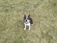 Boston Terrier Puppies for sale in Coon Rapids, MN, USA. price: NA