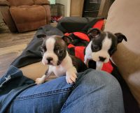 Boston Terrier Puppies for sale in Levelland, TX 79336, USA. price: NA
