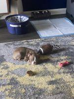 Boston Terrier Puppies for sale in Dania Beach, FL 33004, USA. price: NA