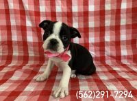 Boston Terrier Puppies for sale in Whittier, CA, USA. price: NA