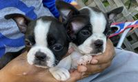 Boston Terrier Puppies for sale in Atwater, CA 95301, USA. price: NA