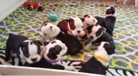Boston Terrier Puppies for sale in Erie, PA 16502, USA. price: NA