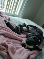 Boston Terrier Puppies for sale in Sanford, ME, USA. price: NA