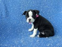 Boston Terrier Puppies for sale in Hacienda Heights, CA, USA. price: NA