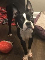Boston Terrier Puppies for sale in The Colony, TX, USA. price: NA