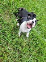 Boston Terrier Puppies for sale in Nashville, TN, USA. price: NA