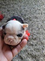 Boston Terrier Puppies for sale in Riley, MI 48041, USA. price: NA