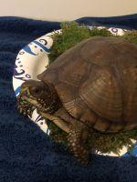 Box Turtle Reptiles for sale in Tulsa, OK, USA. price: NA