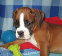 Boxer Puppies for sale in Jackson, MO 63755, USA. price: NA