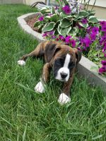 Boxer Puppies for sale in Grabill, IN 46741, USA. price: NA
