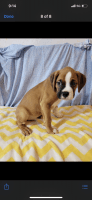 Boxer Puppies for sale in Chicago, IL, USA. price: NA