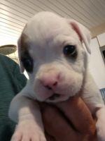 Boxer Puppies for sale in Carsonville, MI 48419, USA. price: NA