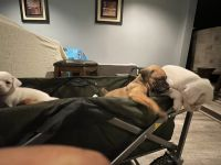 Boxer Puppies for sale in Downey, CA 90241, USA. price: NA