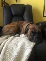 Boxer Puppies for sale in Columbia, SC, USA. price: NA