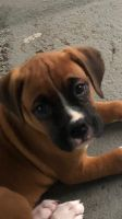 Boxer Puppies for sale in Wayne, NJ 07470, USA. price: NA