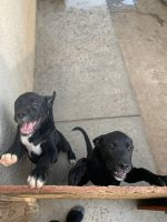 Boxer Puppies for sale in Riverside, CA, USA. price: NA