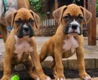 Boxer Puppies for sale in Highland, CA 92346, USA. price: NA