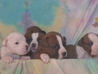 Boxer Puppies for sale in Munford, TN, USA. price: NA