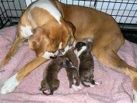 Boxer Puppies for sale in San Bernardino, CA, USA. price: NA